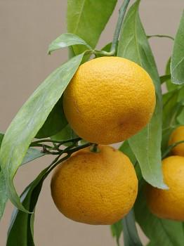 """Citrus reticulata """"HONIKAN"""" (Blanco) - Poncirus"""