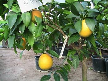 """Citrus sinensis """"NAVELINA"""" (L.) Osbeck -Citrumelo"""