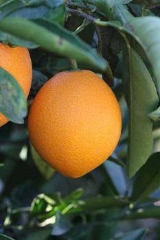 "Citrus sinensis ""NAVELATE"" (L.) Osbeck - Poncirus"