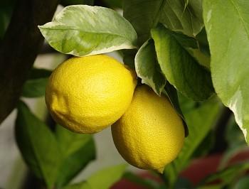 "Citrus limon ""LIMONE VARIEGATO"" (L.) Burm - Poncirus"