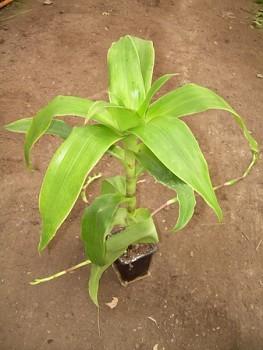 Callisia fragrans  (Lindl.) - Kalísie voňavá