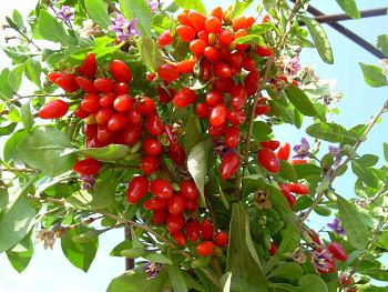 "Lycium chinensis (Mill) var. macrocarpa ""ANNY""-Kustovnice čínská"
