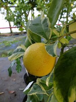 """Citrus volkameriana """"VARIEGATA"""" (Pasq.) Tan. - Citrumelo"""
