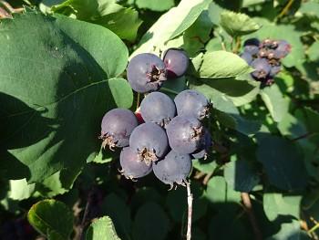 Amelanchier alnifolia var. Cusickii MARTIN( Fern.) - Muchovník olšolistý