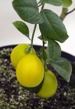 """Citrus limon """"LISBON"""" ( L. ) Burm. - Citrumelo"""