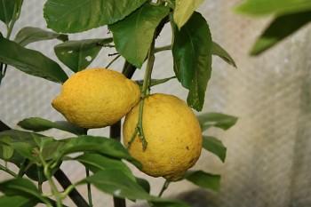 """Citrus limon """"VILLA FRANCA"""" (L.) Burm. - Citrumelo"""