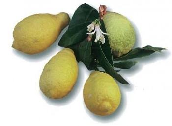 "Citrus limon ""SALICIFOLIA"" (L.) Burm. - Citrumelo"
