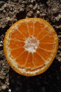 "Citrus deliciosa Ten. ""AVANA APIRENO"" - Citrumelo"