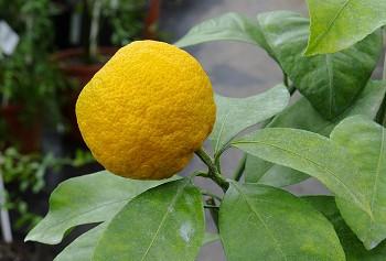 """Citrus unshiu """"SKOROSPĚLYJ"""" ( Marcow. ) - Poncirus"""