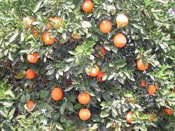 """Citrus sinensis """"THOMSON"""" (L.) Osbeck - Citrumelo"""