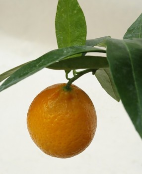 "Citrus sp. ""FAIRCHILD"" - Citrumelo"