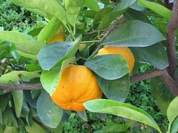 """Citrus aurantium """"HORRIDUS"""" L. - Citrumelo"""
