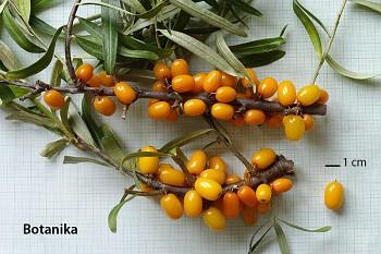 "Hippophae rhamnoides (L.) ""BOTANIKA"" - Rakytník řešetlákový"