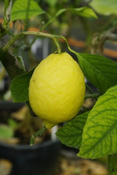 "Citrus limon ""AMALFITANO"" (L.) Burm - Citrumelo"