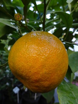 "Citrus aurantium ""DOLCE DEL GARGANO"" L. - Citrumelo"