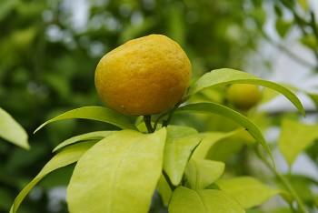 """Citrus reticulata """"SUN CHU SHA"""" (Blanco) - Citrumelo"""