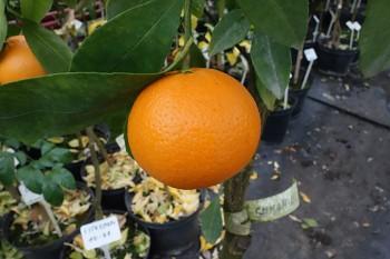 "Citrus leiocarpa ""SHIVAMIKAN"" ( hort. ex Tanaka ) - Citrumelo"
