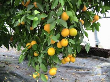 "Citrus sinensis ""WASHINGTON NAVEL"" (L.) Osbeck - Citrumelo"