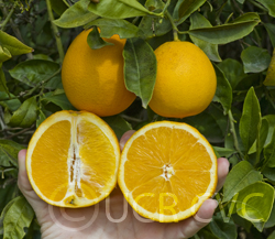 "Citrus sinensis ""BUCKEYE"" (L.) Osbeck - Citrumelo"