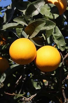 """Citrus sp. """"US 119"""" - Poncirus"""