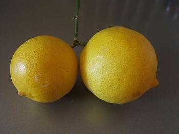 "Citrus limon ""VAINIGLIA LIMON"" (L.) Burm. f. - Citrumelo"
