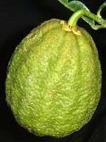 "Citrus ichangensis × maxima ""Ichang lemon"" - Poncirus"