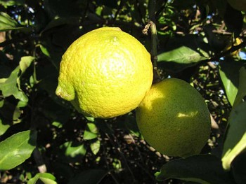 """Citrus limon """"SICILY"""" (L.) Burm - Citrumelo"""