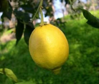 """Citrus limon """"OVALE DI SORENTO"""" (L.) Burm - Citrumelo"""