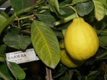 """Citrus limonimedica """"BAJOURA"""" Lush. - Citrumelo"""