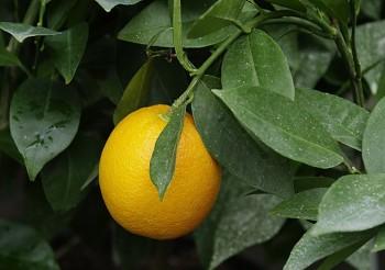 """Citrus sinensis """"MORITA"""" (L.) Osbeck - Citrumelo"""