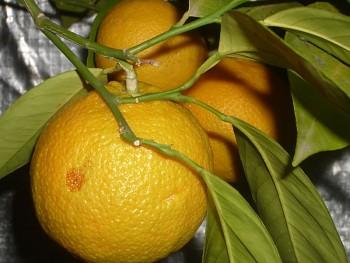 "Citrus sinensis ""SIKERI"" (L.) Osbeck - Citrumelo"