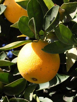 """Citrus sinensis """"LANE LATE"""" (L.) Osbeck - Citrumelo"""