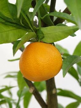 "Citrus clementina ""SPINOSO"" ( hort. ex Tanaka ) - Citrumelo"