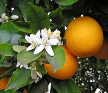 "Citrus sinensis ""MERLIN"" (L.) Osbeck - Citrumelo"