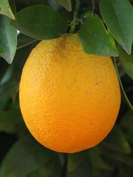 """Citrus sinensis """"JAFFA"""" (L.) Osbeck - Citrumelo"""