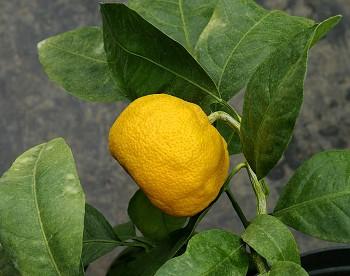 "Citrus sp. ""CALLOT"" - Poncirus"