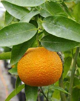 "Citrus clementina ""OROVAL"" ( hort. ex Tanaka ) - Citrumelo"