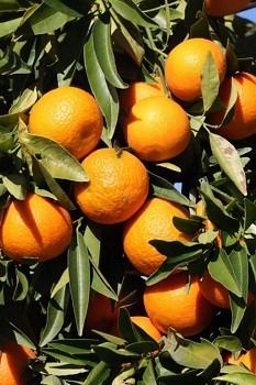 """Citrus clementina """"COMMUNE ISA"""" ( hort. ex Tanaka ) - Citrumelo"""