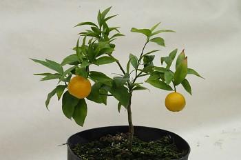 "Citrus clementina ""ESBAL"" (hort. ex Tanaka) - Citrumelo"