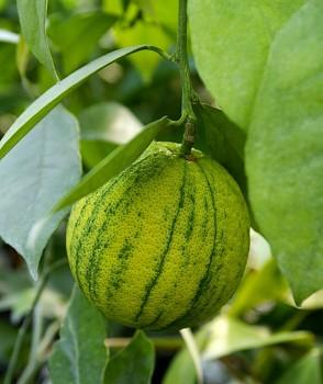"Citrus sinensis ""COTIDIANA"" (L.) Osbeck - Citrumelo"