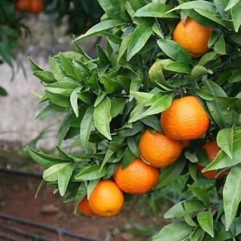 """Citrus clementina """"ORONULES"""" (hort. ex Tanaka) - Citr."""