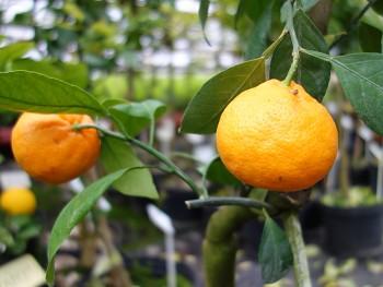 "Citrus unshiu ""SKOROSPĚLYJ"" ( Marcow. ) - Citrumelo"