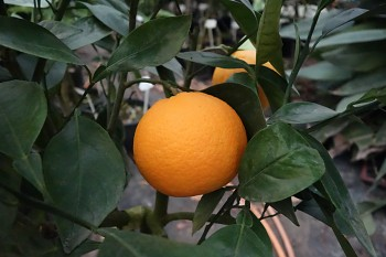 "Citrus sinensis ""ORDO"" (L.) Osbeck - Citrumelo"