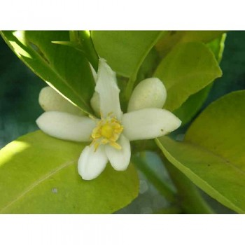"""Citrus limettioides Tan. """"PALESTINE"""" - Citrumelo"""