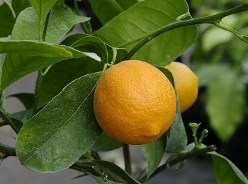 "Citrus limonia  ""BORNEO RANGPUR 108"" (Osbeck.) - Citrumelo"