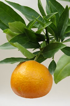 """Citrus clementina """"CORSICA 1 SRA 367"""" (hort. ex Tanaka) - Citrumelo"""