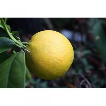 "Citrus sp. ""FORTUNE"" - Citrumelo"