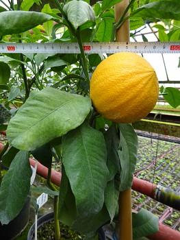 "Citrus bergamia ""BERGAMOTTE"" Risso & Poit. - Citrumelo"