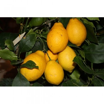"""DIOSCURIA"" - (C. limon x C. ?) - Citrumelo"