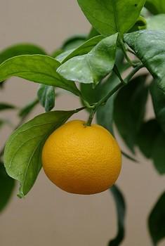 """Citrus unshiu """"AYKY"""" ( Marcow. ) - Citrumelo"""
